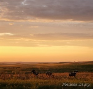 Big Horn Sheep at Golden Hour, Theodore Roosevelt National Park, North Unit. Photo by Melissa Kamp
