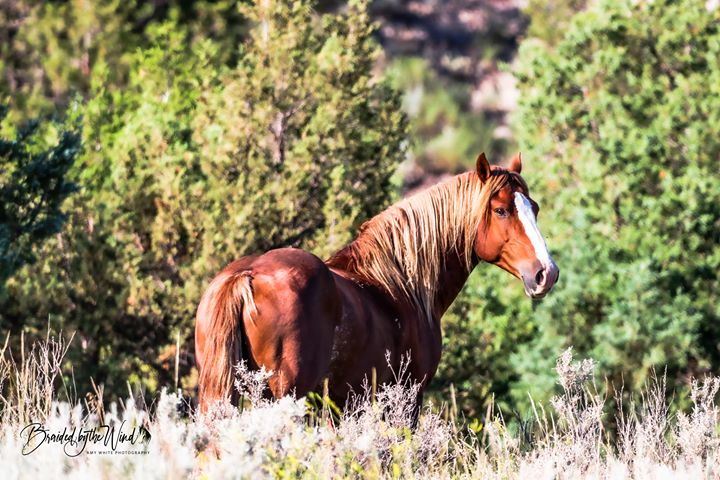Band stallion, Flax. Theodore Roosevelt National Park, by Amy White