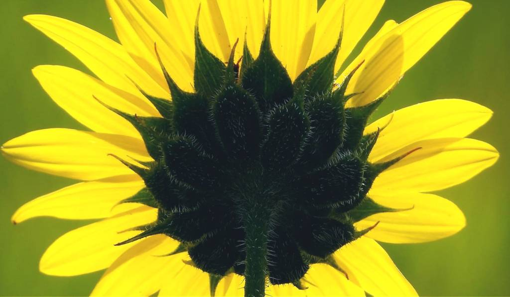 Back of Sunflower, by Connie Austin Weakly