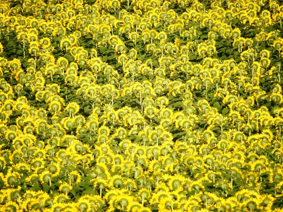 Pattern in Yellow and Green with Sunflowers, Connie Austin Weakly