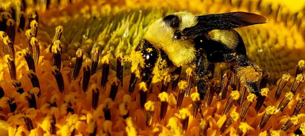 Bee Pollination on Sunflower, by Connie Austin Weakly