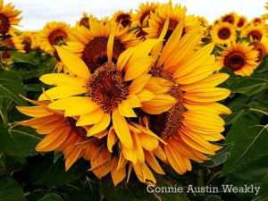 Five For One Sunflower, by Connie Austin Weakly