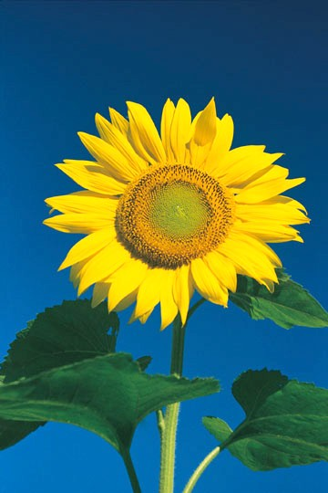 Sunflower Against Brilliant Blue Sky