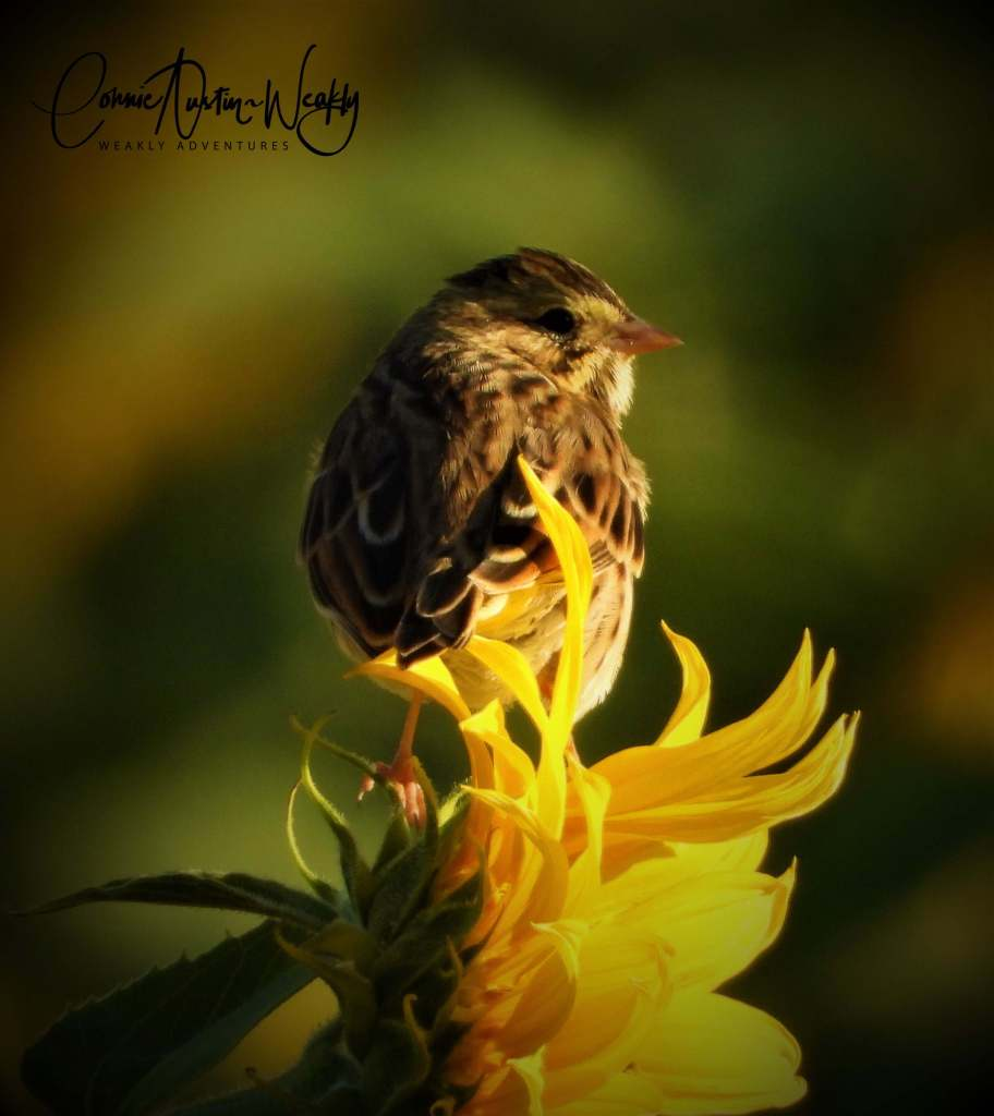 Bird on Sunflower, by Connie Austin Weakly. September 2019