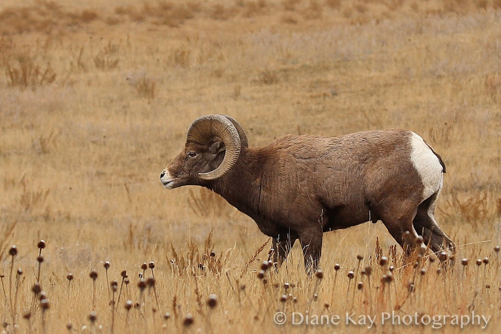 Bighorn Ram in the North Unit of Theodore Roosevelt National Park in North Dakota