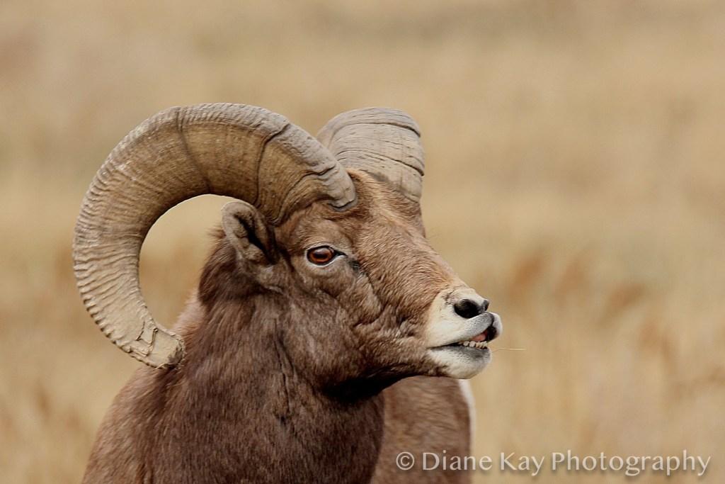 Big Horn Sheep Ram in the Badlands of North Dakota