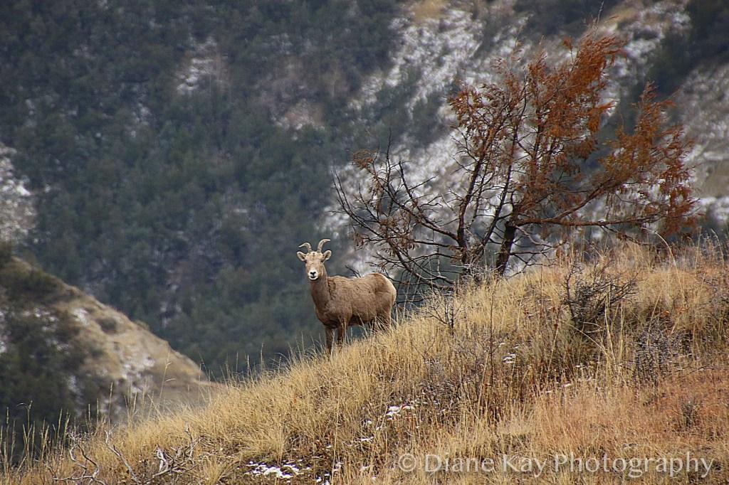 Big Horn Checks Out Visitors in the Badlands of North Dakota