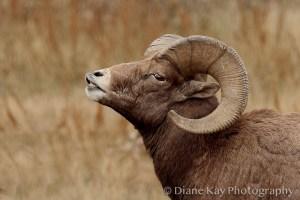 Huge Horns of Big Horn Sheep in the Beautiful Badlands of North Dakota.