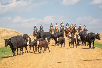 cattle on the gravel road and cowboys on horses
