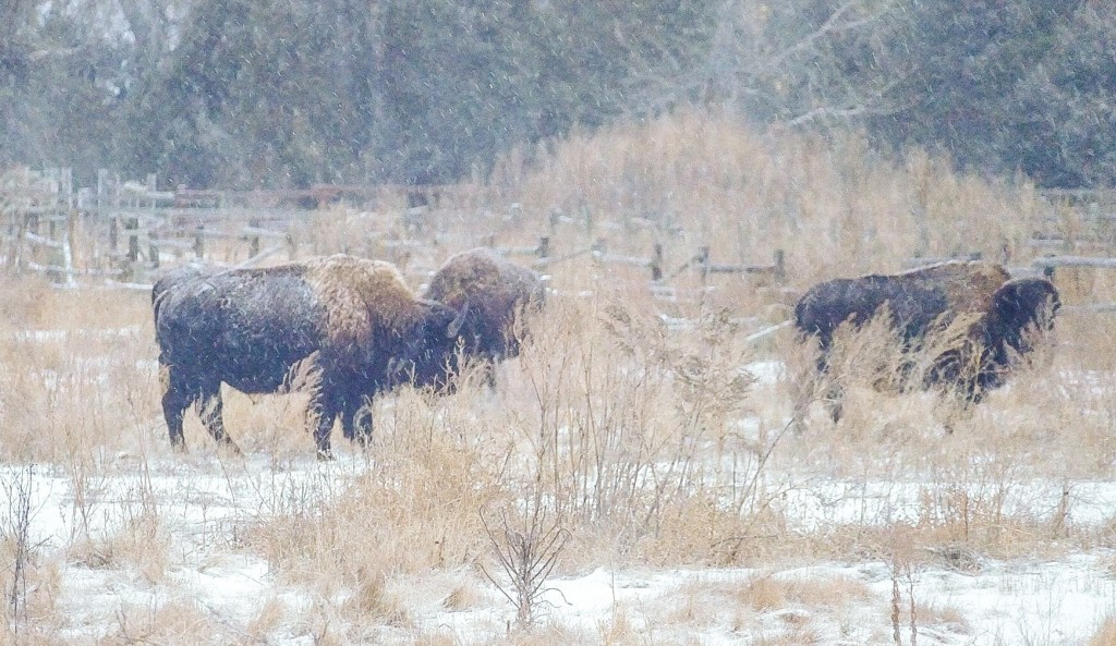 As a winter storm raged, bison herds found shelter and food near Peaceful Valley Ranch in the south unit of Theodore Roosevelt National Park, North Dakota.