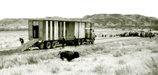 bison at national park