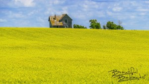 A farm home of yesteryear still stands, and punctuates the vivid yellow canola fields in central North Dakota.