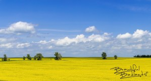 When canola fields bloom mid summer in central North Dakota, here not far from Indian Hills Recreation Area and the Nux Baa Ga Trail, the world becomes a kaleidoscope of color!