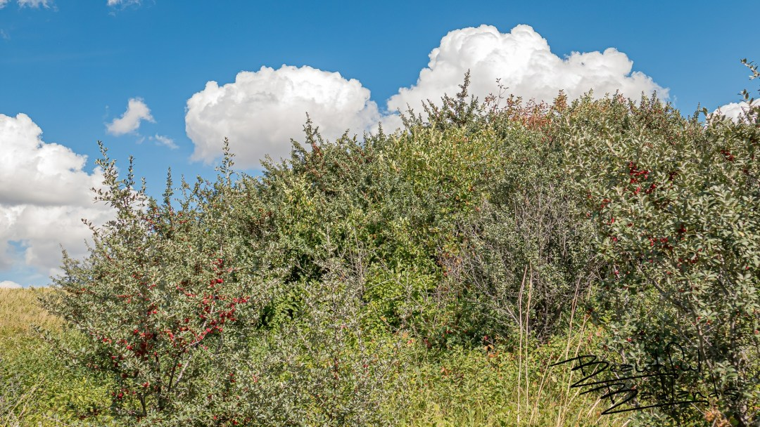 Buffalo Berry Patches dot the rolling landscape on the Nux Baa Ga Trail above Lake Sakakawea at Indian Hills Recreation Area.