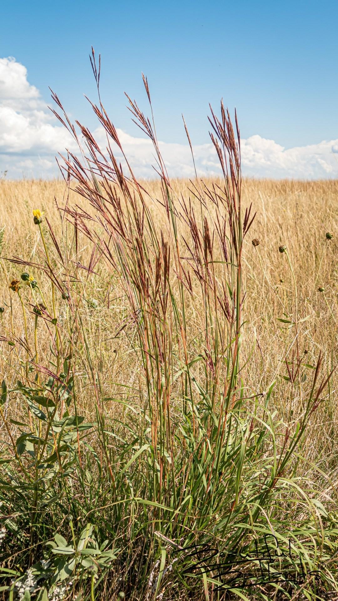 Prairie June Grass Dots the Landscape Above Good Bear Bay at Indian Hills Recreation Area, North Dakota