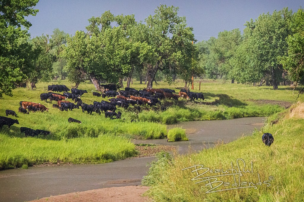 herd of cattle moves to little missouri river in green grass