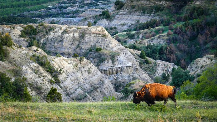 As the sun sank lower towards the horizon on an early fall day, this bison almost took on a golden glow. A brilliant golden hour lit up the western edges of the North Unit of Theodore Roosevelt National Park. Our drive to Oxbow Overlook was peaceful, serene, and surprising . We found bison slowly lumbering along side our vehicle as we crept along. We observed big horn sheep on the hillside next to us. They mingled with the bison in peace. Read about the North Unit of Theodore Roosevelt National Park here: https://wp.me/p8zmWn-2jj Purchase this photo here: http://bit.ly/34YmR7l