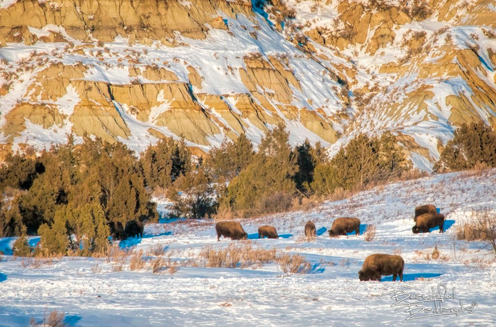 Stay warm in your car to see how bison are actually doing this winter.