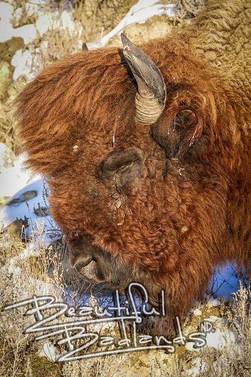 bison head up cloe