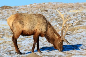 Elk Looking for Food in the Badlands of North Dakota. Photo by Carole Priestley. South Unit of Theodore Roosevelt National Park near Medora.