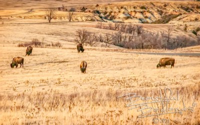 Saturday Snapshot — Drought in the Badlands, Tough for Bison