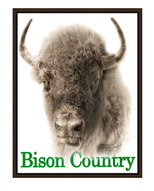 Bison Country! Sepia Bison Portrait with Green Text Walnut Floating Frame Canvas Wrap