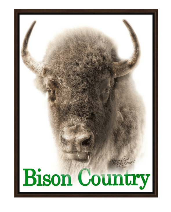 Bison Country - Sepia Portrait Walnut Floating Frame Canvas Wrap