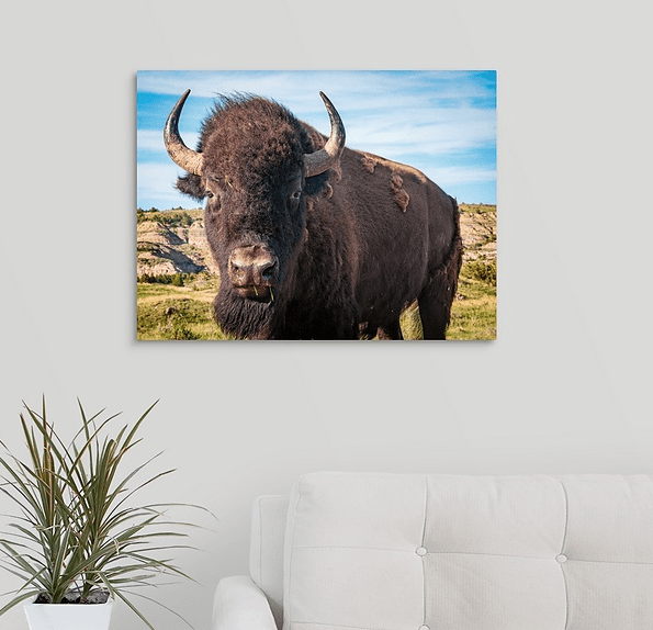 Bison Up Close in Color Canvas Wrap (on wall)