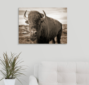 Bison Up Close! Our Signature Sepia Image! Canvas Wrap (on wall)