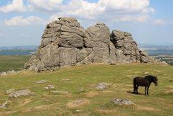 Dartmoor pony, Haytor, Dartmoor