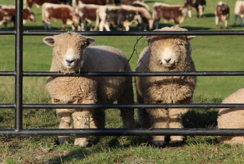 Sheep, Symonds Yat