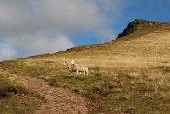 Sheep, Path to Corn Du and Pen y Fan, Brecon Beacons