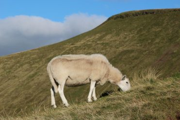 Sheep below Pen y Fan, Brecon Beacons