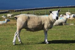 Sheep, Great Orme