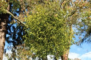 Mistletoe, growing on Acer tree, Wakehurst Place, Ardingly