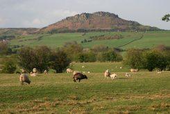 Sheep below Hen Cloud, The Roaches