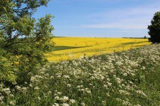 Oilseed rape field, near Ditchling Beacon, South Downs Way