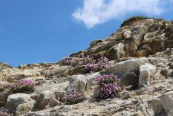 Sea thrift, chalk cliffs, Seaford