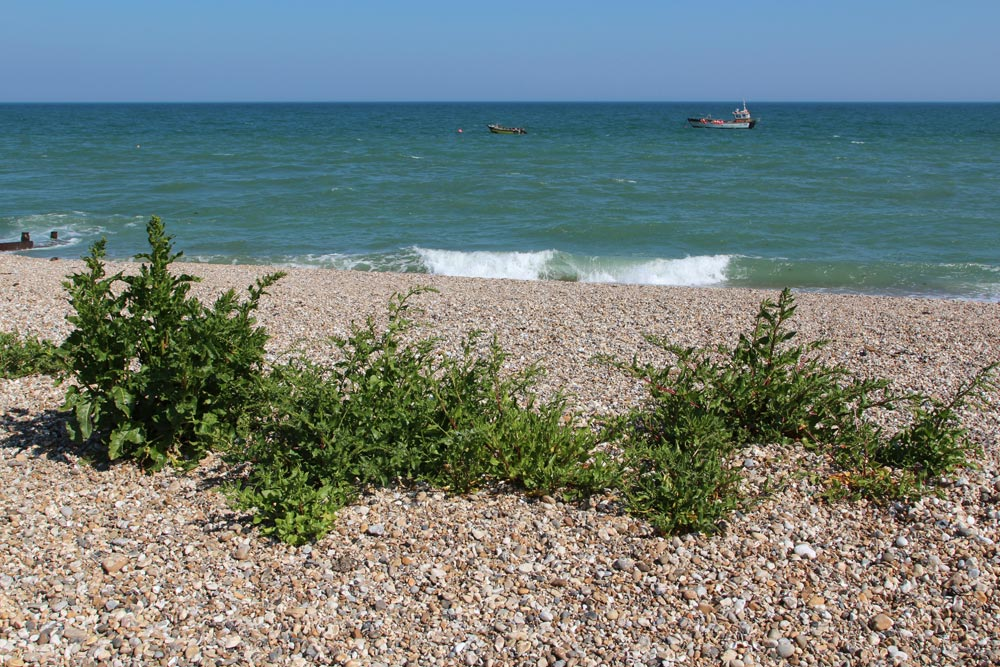 Vegetated shingle, beach, Selsey Bill