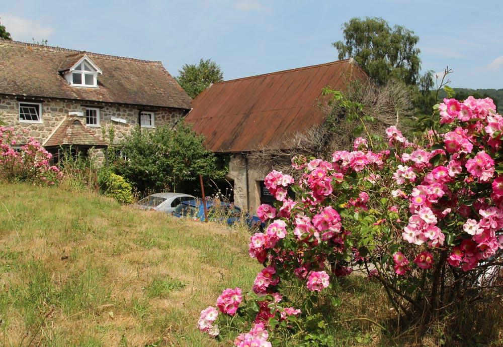 Wild roses, St. John the Baptist Churchyard, Lustleigh