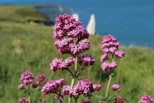 Red valerian, Ballard Down, near Old Harry Rocks