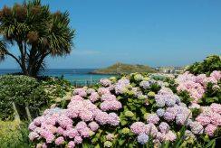 Hydrangeas, overlooking Porthmeor Beach and The Island, St. Ives