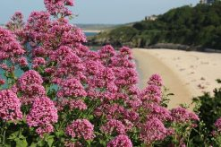 Valerian, from Malakoff Gardens, overlooking Porthminster Beach, St. Ives