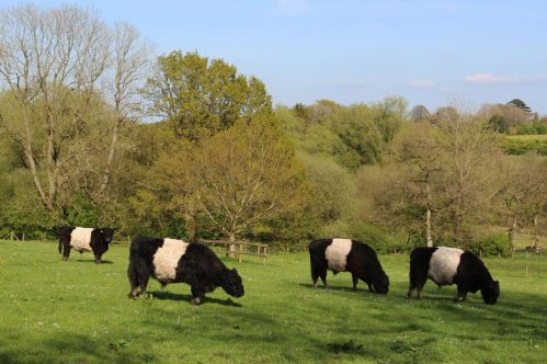 Belted Galloway, Jones's Mill Nature Reserve, near Pewsey Wharf