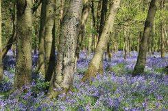 Bluebells, Cowleaze Wood, near Stokenchurch