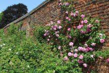 Roses, Tiltyard Walls, Hampton Court Palace