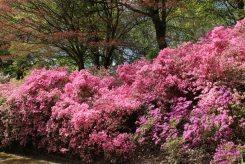 Azaleas, Punch Bowl, Valley Gardens, Virginia Water