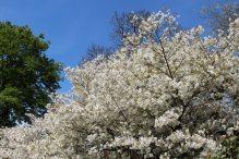 Jo-nioi Cherry Tree, Valley Gardens, Virginia Water
