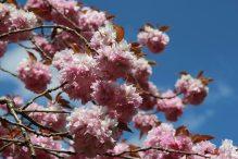 Kanzan Cherry Blossom, Valley Gardens, Virginia Water