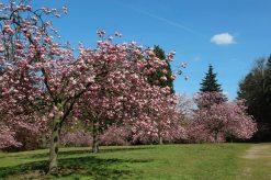 Kanzan Cherry Trees, Valley Gardens, Virginia Water